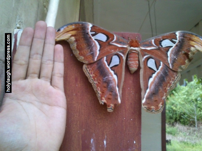 Just an elephant butterfly