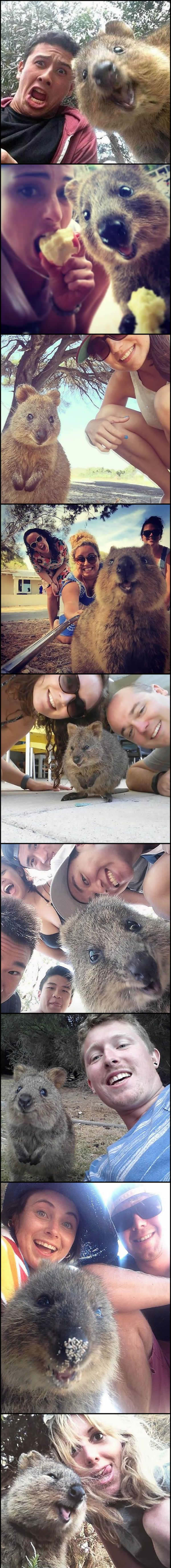 photogenic quokka
